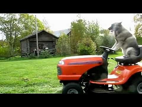 dog riding mower