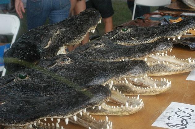 Alligator heads for sale at Gatorfest